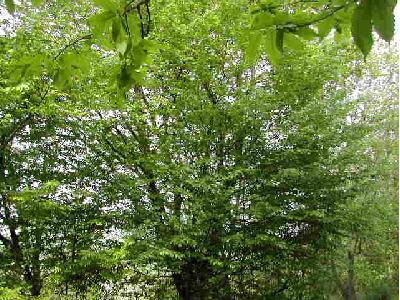 charme carpenus betulus les arbres par. Black Bedroom Furniture Sets. Home Design Ideas