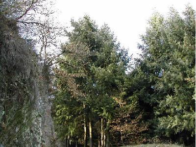 Arbres identification vert de terre - Sapin de nordmann ...
