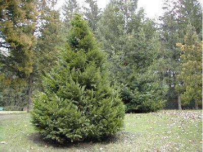 Tuilla arbre - Maladie des thuyas ...
