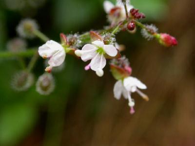 Circe de paris circea lutetiana les plantes herbaces par for Plante ulysse