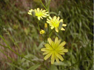Lapsana lapsana communis les plantes herbaces par for Portent feuilles