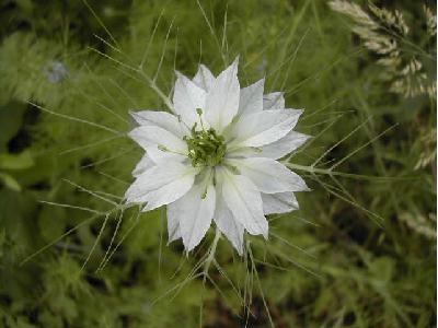 Nigelle de damas nigella damascena les plantes herbaces for Plante nigelle