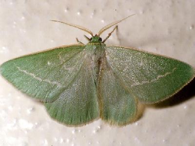 antonechloris smaragdaria
