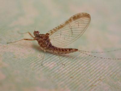 Insectes identification par - Insecte vert volant ...