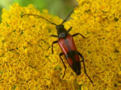 http://www.vertdeterre.com/nature/img/insecte/lepture_bifasciee.jpg