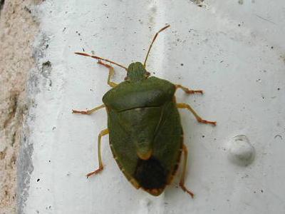 Punaise verte palomena prasina les insectes par - Insecte vert volant ...