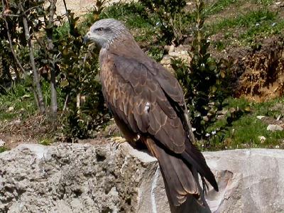 http://www.vertdeterre.com/nature/img/oiseau/milan_noir.jpg