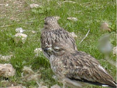 Oiseaux identification par la couleur des oeufs vert de for Oiseau par la couleur